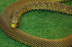 Snake on green backgrounds Royalty Free Stock Photos
