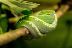Snake, Green, Macro, Animal, Zoo Royalty Free Stock Photo
