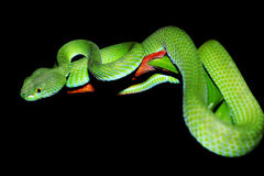 Snake (green pit viper) Stock Photo