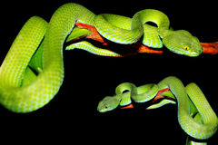 Snake (green pit viper) Royalty Free Stock Photo