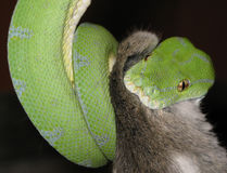 Snake green tree python Stock Photography