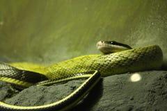 Snake. Green snake was photographed at the Bangkok zoo stock photography