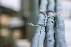 Snake on Grey Wood Royalty Free Stock Image
