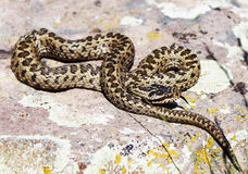 Snake Gyurza. Armenian snake gyurza he can shoot 5 person Royalty Free Stock Photo