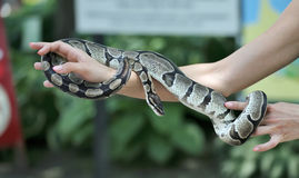 Snake in the hand. Royalty Free Stock Images