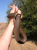 Snake handling Royalty Free Stock Photography