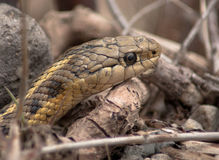 Snake Head. A snake slithers through the underbrush Stock Photography