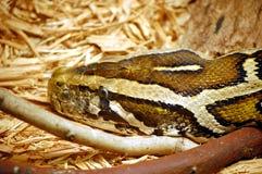 Snake head Stock Image