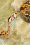 Snake head. Head of the snake with background Stock Photography