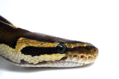 Snake Head Ball Python Head  on white background 1 Stock Image