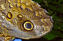 Snake Head Butterlfy - (Owl Butterfly). The under-side of an Owl Butterfly, which looks like a snake head.  The top-side is a beautiful blue Stock Images