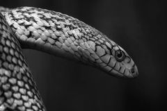 Snake. The head close-up of a snake stock images