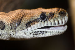 Snake head Royalty Free Stock Image