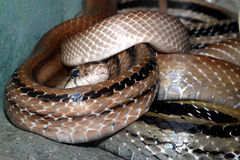 Snake head close up picture Royalty Free Stock Images