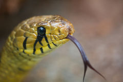 Snake Head Royalty Free Stock Images