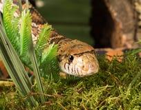 Snake head Royalty Free Stock Photo