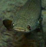 Snake-head fish Royalty Free Stock Photos