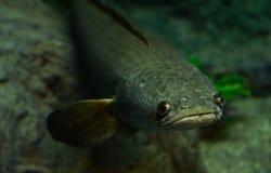 Snake-head fish Royalty Free Stock Image