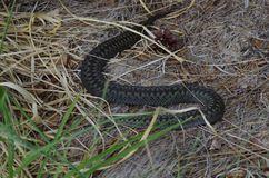A snake hiding in grass. Snake hiding in grass near a lake on a warm summer Royalty Free Stock Images