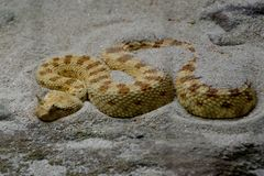 A snake hiding in sand Royalty Free Stock Photography
