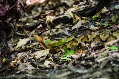 Snake on the Hiking Trail. A small snake, possibly a copperhead, is visible in the brush on a hiking trail in North Carolina royalty free stock images