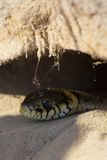 Snake in a hole Royalty Free Stock Image