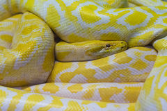 Snake huge Royalty Free Stock Photo