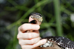 Snake in human hands Stock Photos