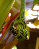 Snake hunting frog Stock Photography