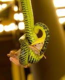 Snake hunting frog Royalty Free Stock Image