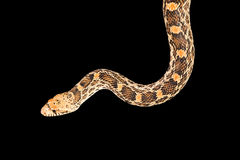 Snake isolated on black Royalty Free Stock Photos