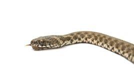 Snake isolated. On white background stock photos