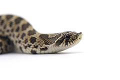 Snake isolated on white. Backgtound Stock Photo