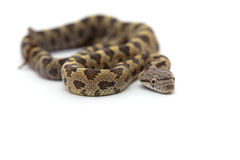 Snake isolated on white. Backgtound Royalty Free Stock Photos