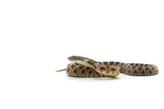 Snake isolated on white. Backgtound Stock Photos