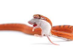 Snake isolated on white. Backgtound Royalty Free Stock Images