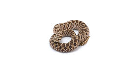 Snake isolated on white. Backgtound Royalty Free Stock Photo