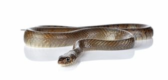 Snake isolated on white. The snake isolated on white background royalty free stock photos