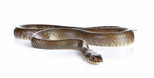 Snake isolated on white. A snake isolated on white background royalty free stock photography