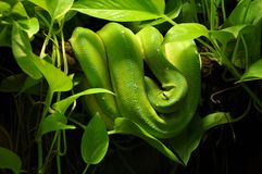 Snake in jungle Stock Images