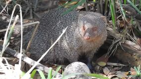 Snake killer, close up mongoose. Yellow mongoose adult lone looking at camera dry season face eyes in south africa. Banded mongoos. E yawning. Close up of a stock video