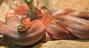 Snake. King Cobra Snake Coiled Up royalty free stock image