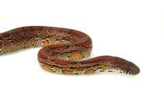 snake kukurydziany Zdjęcia Stock
