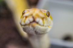 Snake. royalty free stock photo