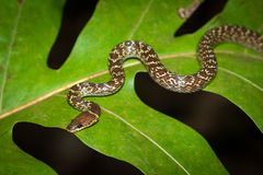 Snake on the leaf Royalty Free Stock Image