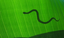 Snake on leave Royalty Free Stock Image