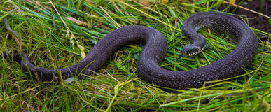 The snake lies on the grass too. Royalty Free Stock Photo
