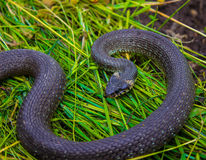 The snake lies on the grass too. Royalty Free Stock Images