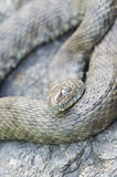 Snake. Lies on the rocks with open eyes Stock Images