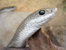 Snake. Light brown snake with little nose Royalty Free Stock Image
